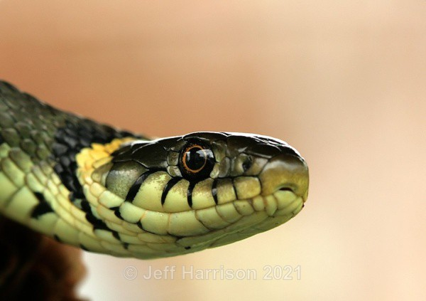 Grass Snake (image GS 004) - Reptiles