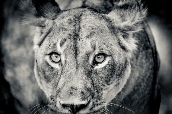 Lioness, Masai Mara, Kenya