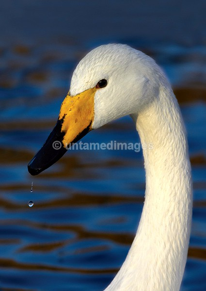 Whooper swan 1 - United Kingdom