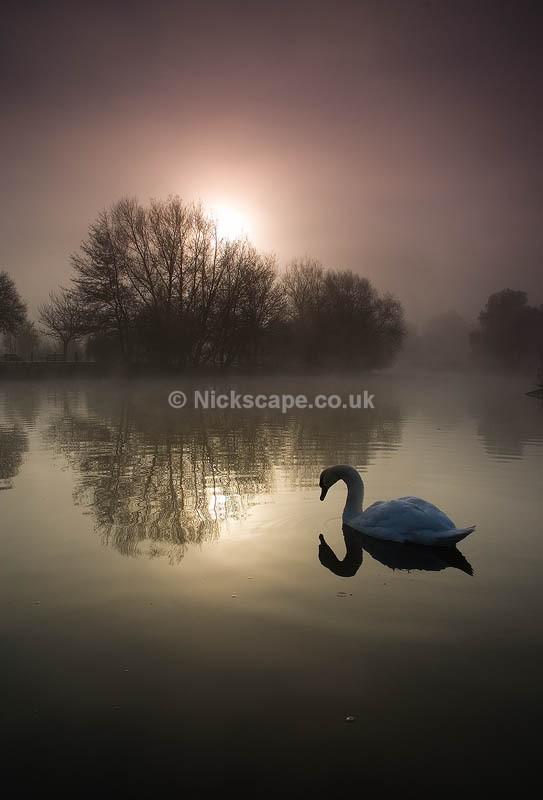 Startford Swan | Award wining photo | Misty dawn on the banks of the river avon