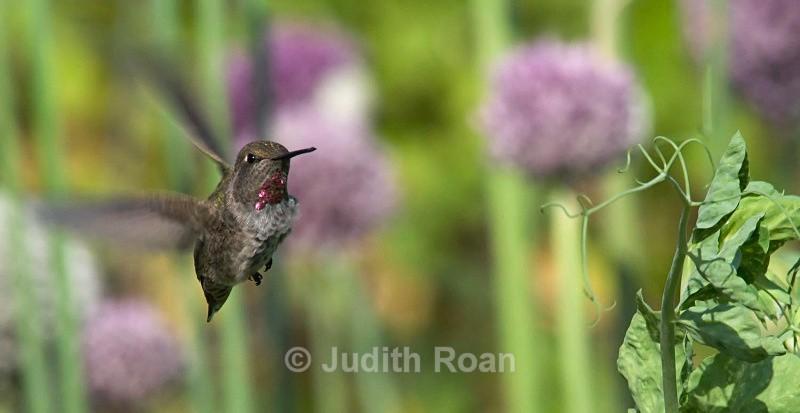 Annas Hummingbird female with leek - Birds
