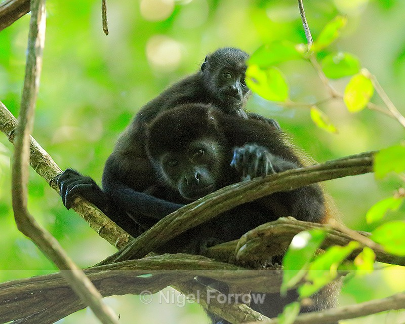 Mother and baby Howler Monkeys, Manuel Antonio, Costa Rica - Monkey