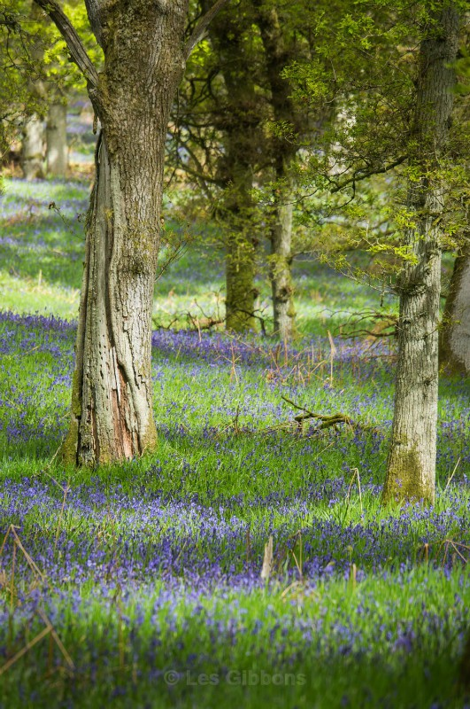 trunk and bluebells - Perthshire