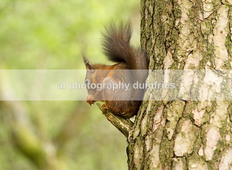 Red Squirrel 3 (disambiguation). - Eskrigg Nature Reserve Lockerbie