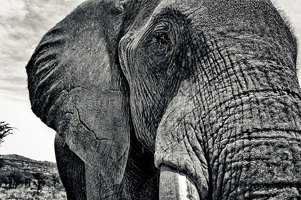 African Elephant, Laikipia, Kenya