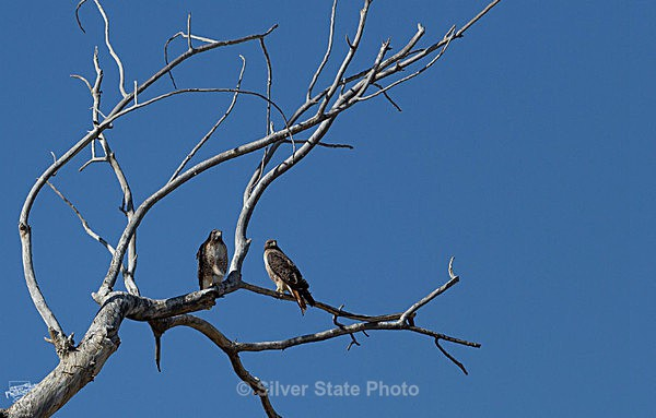 2 Red Tails - Nevada Birds