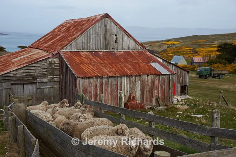 Sheep at the Shearing Shed - Carcass Island