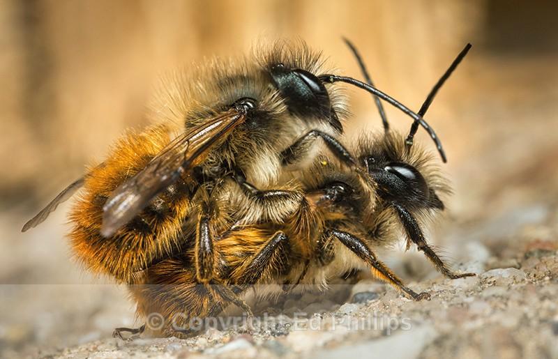 Osmia bicornis (males) - Osmia bicornis (rufa)