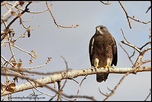 IMG_2212-a-web - Nevada Birds