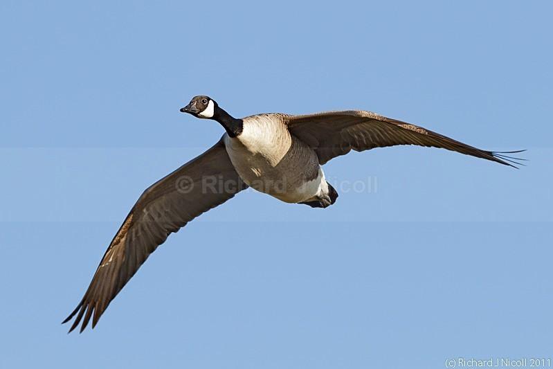 Canada Goose (Branta canadensis) - LRPS Panel