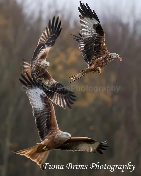 Red Kites  November-50 - Birds of Prey