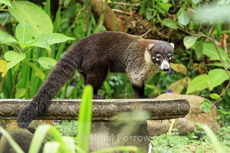 White-nosed Coati, Costa Rica - Coati