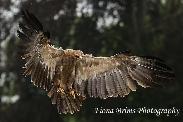 ICBP-13 - Birds of Prey