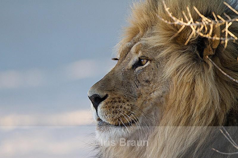 Male Lion Portrait - Lion