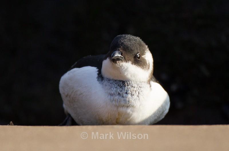 Little Auk - Seabirds