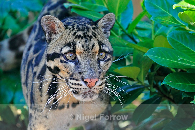 Clouded Leopard (male) close-up - Leopard