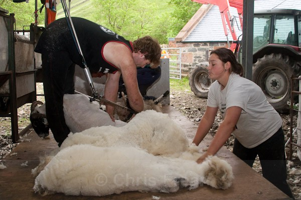 11 - Shearing at Glenwhargen Farm