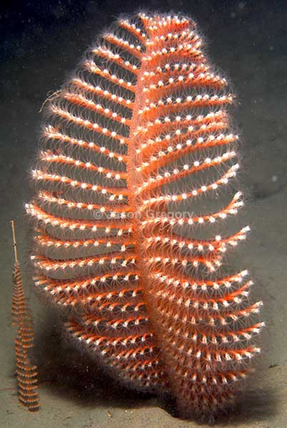 Pennatula phosphorea - Corals (Anthozoa)