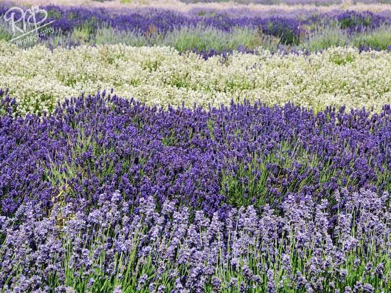 Snowshill Lavender 3 - Other UK Landscapes