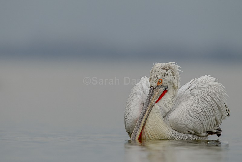 Dalmatian Pelican - Been there, done that..whats next?