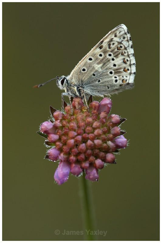 Chalk-hill Blue on Scabious - Butterflies, Dragonflies and Demoiselles
