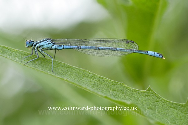 Damsel Fly. Ref 5443 - Close up images