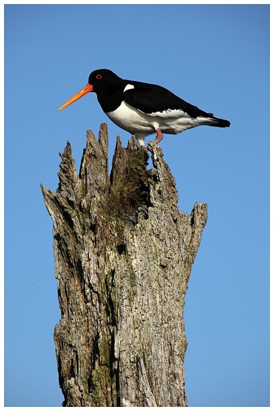 Oystercatcher at Thornham Harbour - The British Wildlife Photography Awards 2009 to 2014