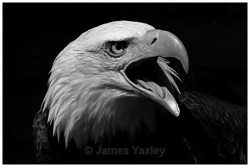Bald Eagle Screeching Monochrome - Nature in Black & White