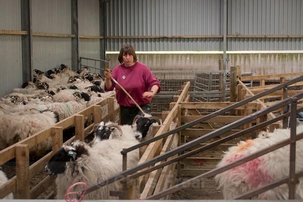 3 - Shearing at Glenwhargen Farm