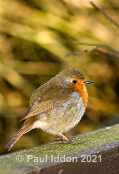 Robin Redbreast - Nature - Birds and Wildlife
