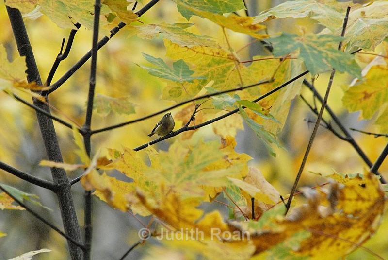 Ruby-crowned Kinglet - Birds