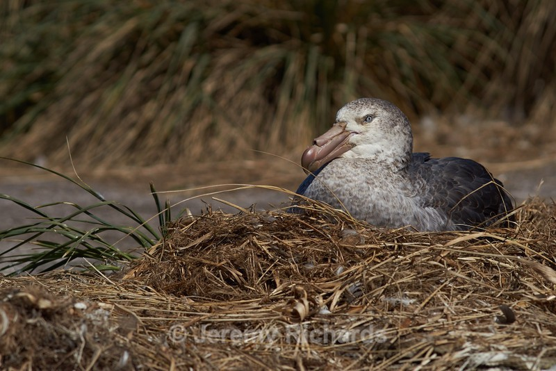 Northern Giant Petrel on its Nest - Carcass Island