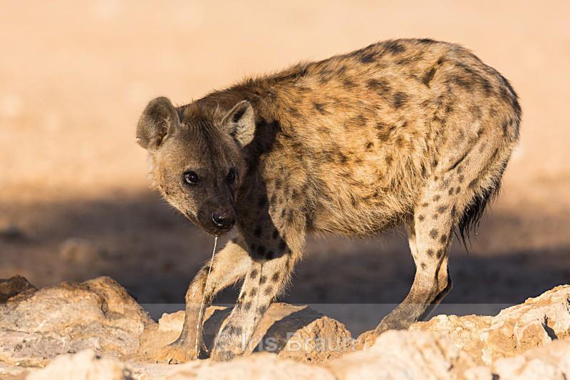 On its guard - Hyena