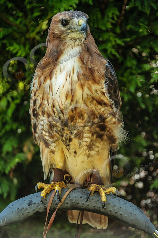 Red Tailed Hawk Maizie - Our Birds