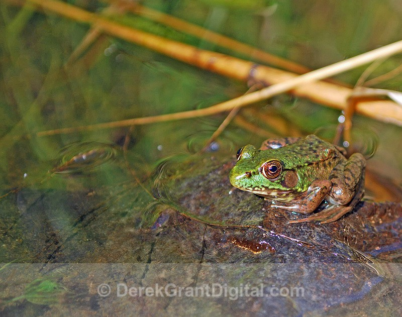 Mink Frog - Mammals, Reptiles & Amphibians