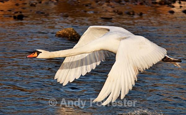 Flying Swan - Birds