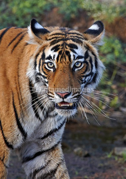 Royal bengal tiger - 3 - India