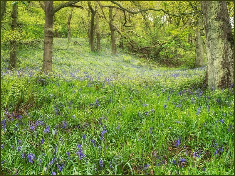 Bluebell Wood - North-East England