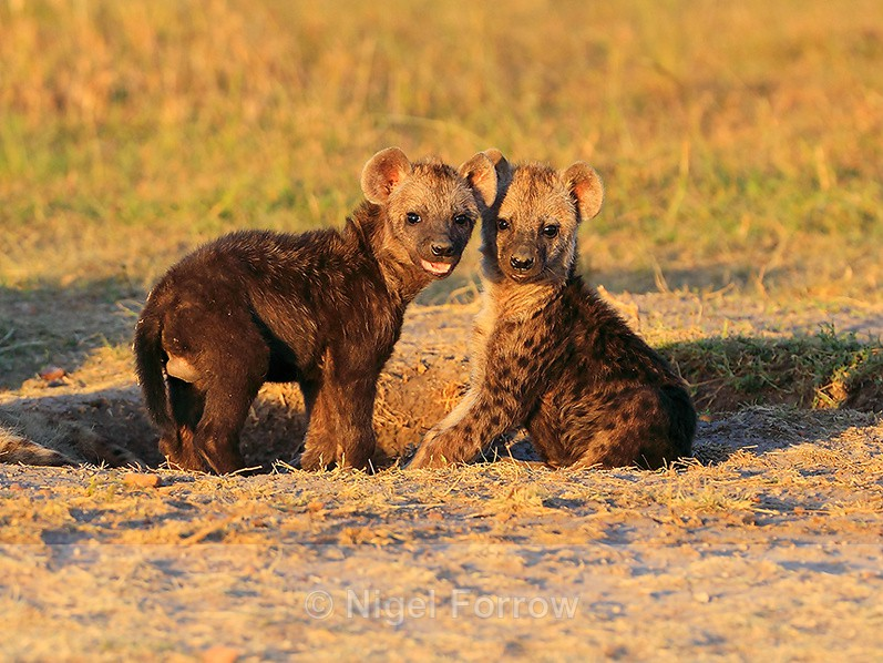 Spotted Hyena cubs in late afternoon light - Hyena