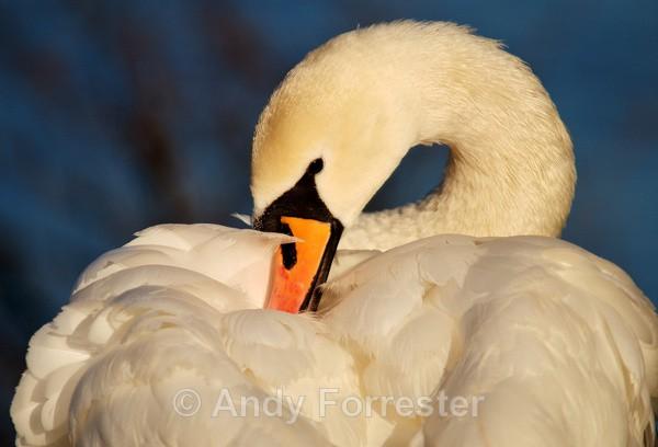Swan - Birds