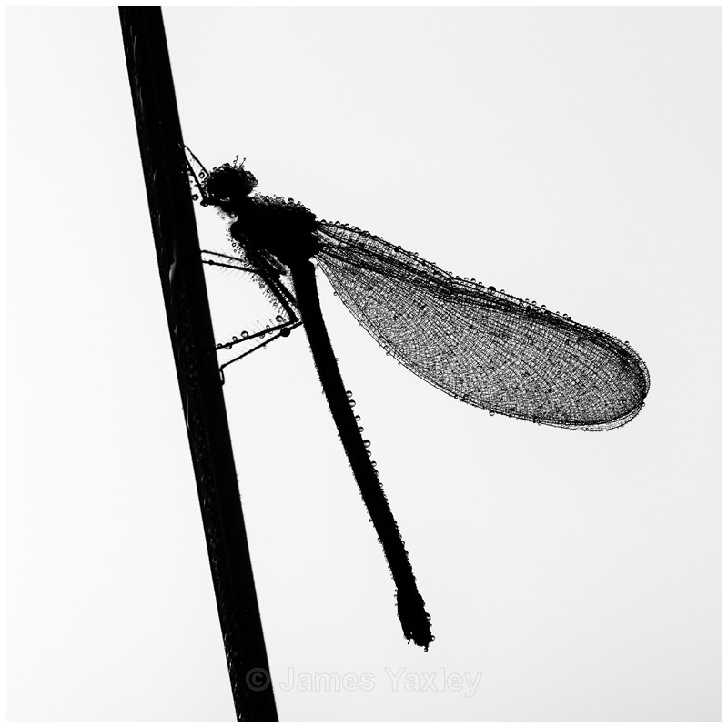 Dewdrop Demoiselle - Nature in Black & White