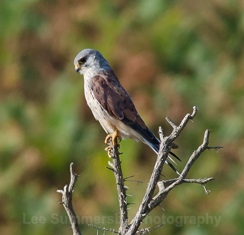 Kestrel, Kessingland, Suffolk - Birds