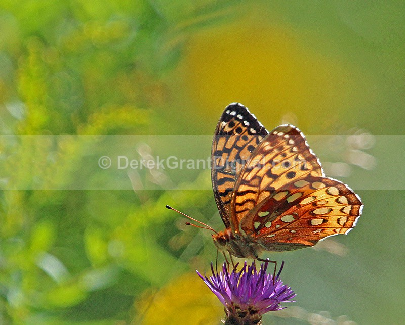 Great Spangled Fritillary - Butterflies & Moths of Atlantic Canada