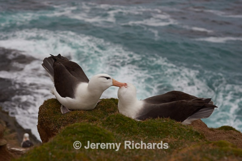 Black-browed Albatross - Saunders Island