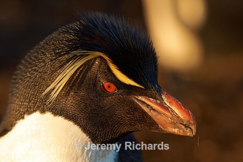 Rockhopper Penguin - Bleaker Island