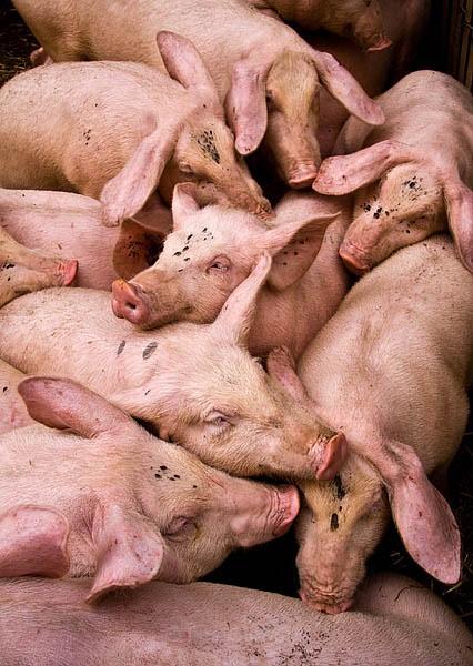 pigs - Grenoble