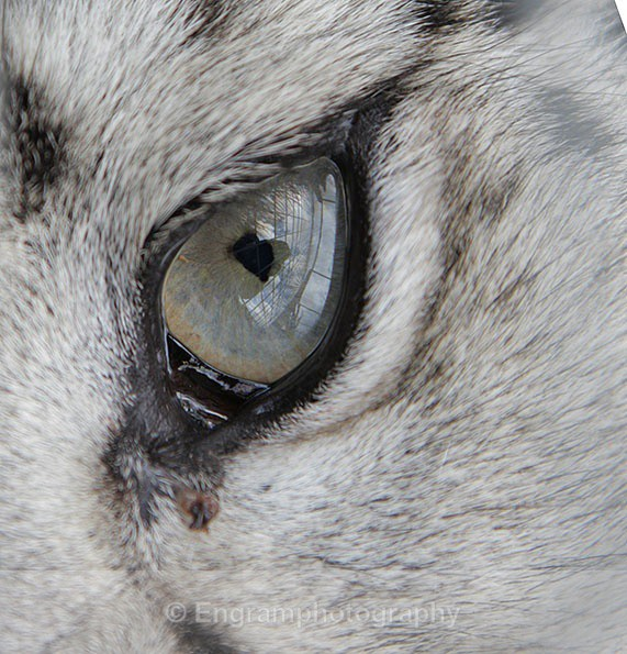 Eye of the Snow Leopard - Animals (Fauna)