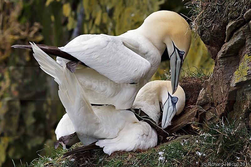 Gannets (Morus bassanus) mating - Gannet (Morus bassanus)