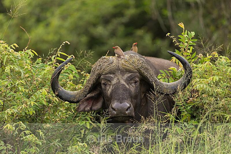 Buffalo with Guests - Buffalo