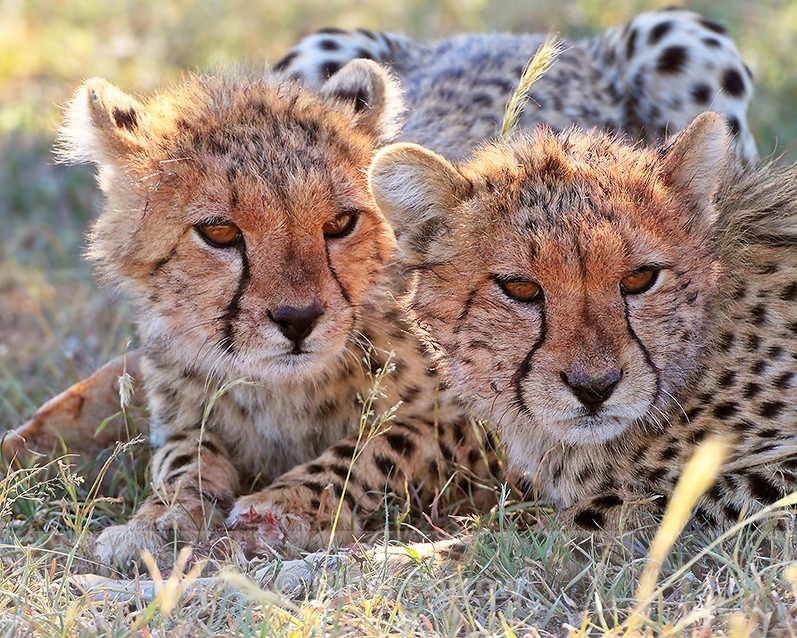 Close-up of two Cheetah cubs with a bone - Cheetah